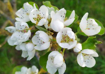 Printemps. Fleurs de poirier